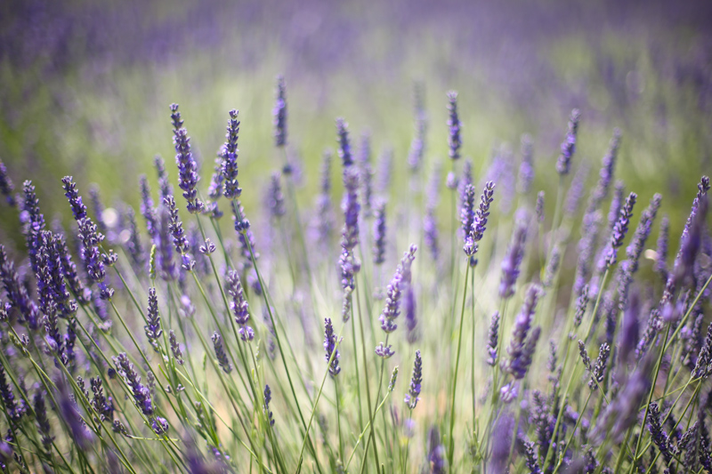hello lavendar fields-04